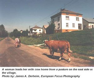 Woman and milk cow in Jablonica, Poland